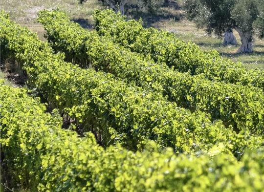Vignes d'ardèche du domaine Les Amoureuses