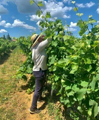 Le palissage des vignes